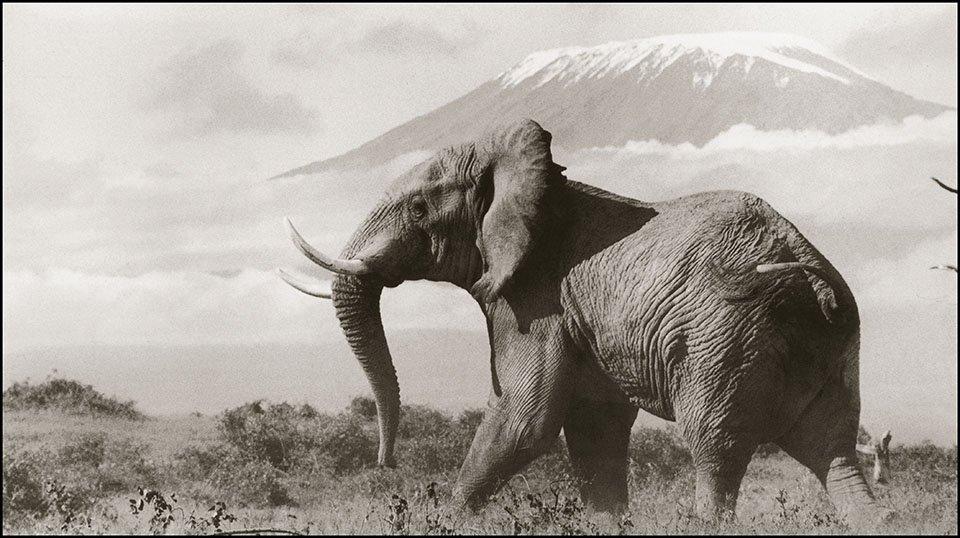 Foto de un elefante africano tomada por Peter Beard