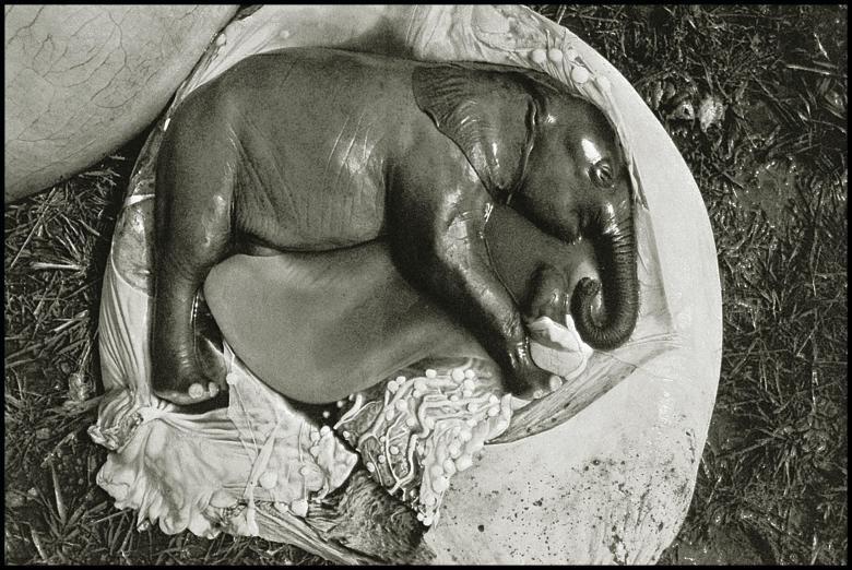Foto del feto de un elefante hecha por Peter Beard